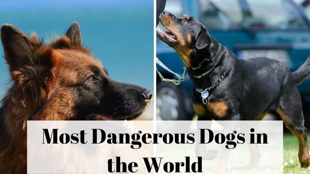 Most Dangerous Dogs in the World