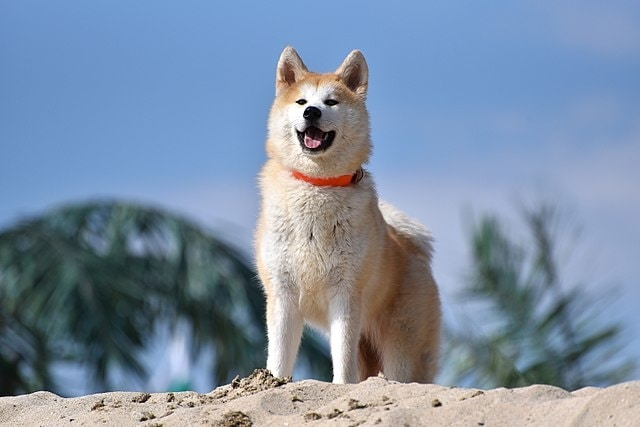 Akita Inu - most dangerous dogs in the world