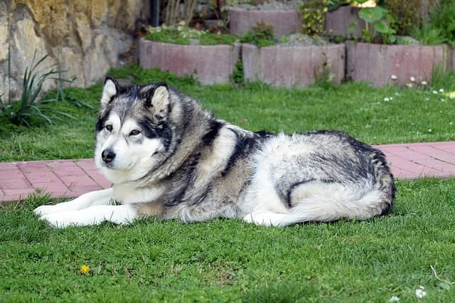 Alaskan Malamute - dangerous dogs in the world