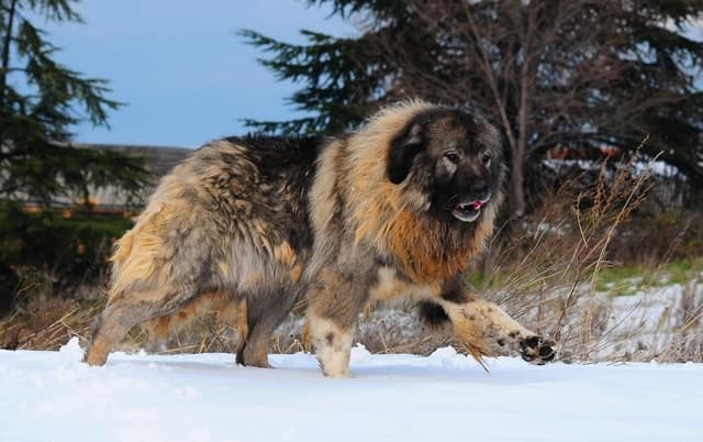 Caucasian Shepherd - most dangerous dogs in the world
