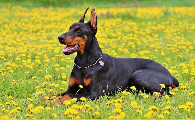 Doberman Pinscher - most dangerous dogs in the world