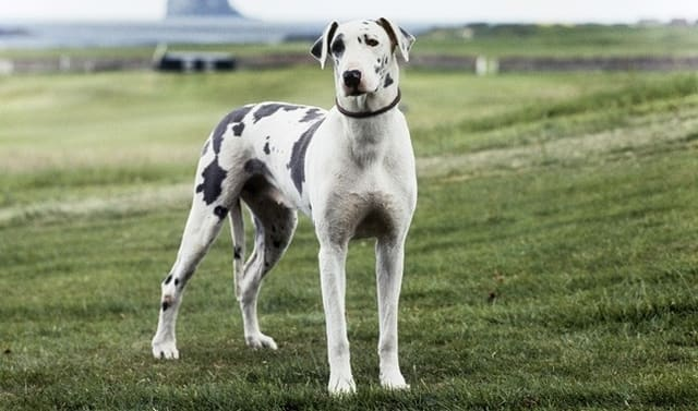 Great Danes - most aggressive dog breeds