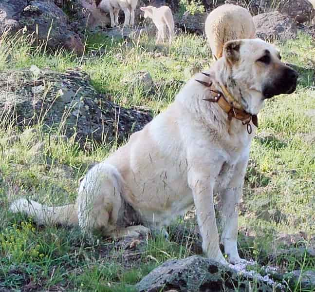 Kangal - most dangerous dogs