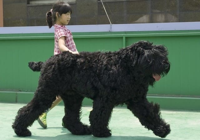 The Russian Black Terrier - most aggressive dog breeds