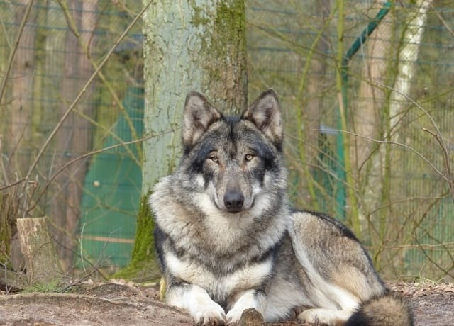 Wolfdog - most dangerous dogs